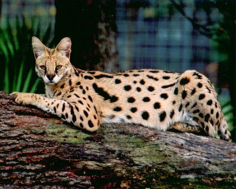 The Africian Serval
